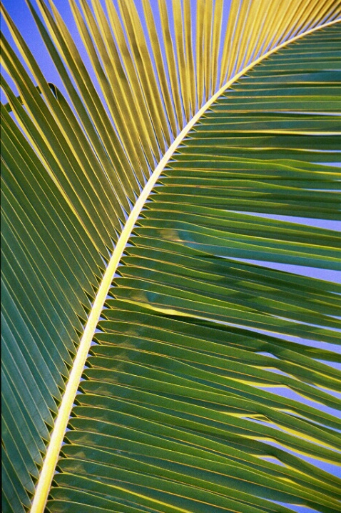 Palm Leaf - ID: 266798 © Mary B McGrath