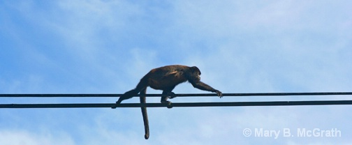 Howler Monkey on the power lines - ID: 9613213 © Mary B McGrath